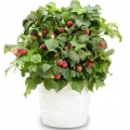 Raspberry 'Yummy®' (1 x 3 litre Pot)